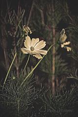 DSC09679@ (leygrandavid) Tags: tamron 500mm sony a7s cosmo fleur été champ proxi prairie