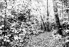 Awenda - Beaver Pond Trail - Yellow leaves in B+W. (mishlove1) Tags: 50mm 50mmf14 autumn awenda awendaprovincialpark fallcolors fallcolours film georgianbay kodak kodakportra michaelishlove nikomat nikomatft374575050mmf14 photowalk photowalking portra portra400 topw topw2018rs autumnleaves fallleaves