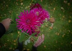 Svårt tema den här gången, men de sista trädgårdsblommorna får mig att drömma till nästa sommar. (My Photolifestyle) Tags: fs180923 drömmar drommar fotosondag