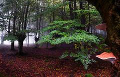 FUNGI (juan luis olaeta) Tags: fog fungi forest basoa bosque hayedo pagoa paisajes landscape laiñoa nieblas natura