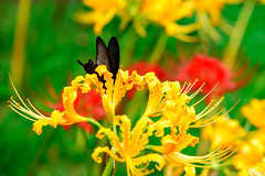 Black Swallowtail on Yellow  spider lily (Lycoris aurea) : ショウキズイセン(鍾馗水仙)とカラスアゲハ (Dakiny) Tags: 2018 autumn september kanagawa yokohama kohoku nippa saihoji temple garden outdoor nature plant flower lycoris spiderlily yellowspiderlily clusteramaryllis lycorisaurea creature animal insect bug butterfly blackswallowtail papilionidae papiliodehaanii macro bokeh nikon d750 sigma apo 70200mm f28 ex hsm apo70200mmf28dexhsm sigmaapo70200mmf28dexhsm