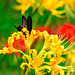 Black Swallowtail on Yellow  spider lily (Lycoris aurea) : ショウキズイセン(鍾馗水仙)とカラスアゲハ