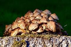 Fungi on a log (rustyruth1959) Tags: cluster woodland spots stem cap moss tree fallentree log grass parasolmushroom mushroomcluster mushroom fungi ripponden calderdale yorkshire england uk tamron16300mm nikond5600 nikon macro evening