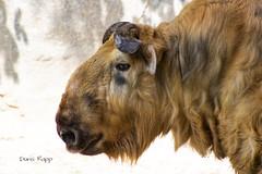 Takin (Dailyville) Tags: animal mammal fur horns zoo peoria illinois dailyville ohiofoothills