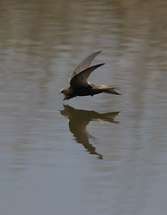 Common Swift (La_Wildlife) Tags: bird birds avian nature wildlife flight inflight reflection canon ngc
