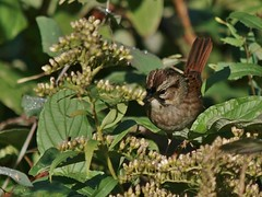 Swamp Sparrow, Mackworth Island (Bill Bunn) Tags: swampsparrow falmouth maine