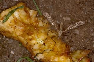 Cranefly on apple stump