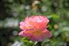 Big Rose (fs999) Tags: 100iso fs999 fschneider aficionados zinzins pentaxist pentaxian pentax k1 pentaxk1 fullframe justpentax flickrlovers ashotadayorso topqualityimage topqualityimageonly artcafe pentaxart corel paintshop paintshoppro 2018ultimate paintshoppro2018ultimate macrolife macro makro masterphotos fleur flower blume bloem tamronspafdi90mmf28macro tamron sp af di 90mm macrolens 11 f28