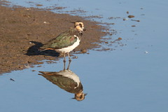 Lapwing reflection (ctrolleneos) Tags: canon80d 100400 rspb titchwellmarsh norfolk lapwing