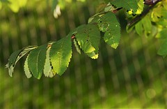 in front of the fence 2 (EllaH52) Tags: green branch twigs leaves foliage light shadows sun sunny fence bokeh macro