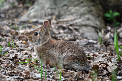Camouflaged (supersky77) Tags: rabbit coniglio torbieredelsebino lombardia lombardy iseo