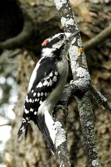 Male Downy Woodpecker Blends In, Chambly, Quebec (Joseph Hollick) Tags: quebec bird downywoodpecker