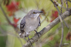 Northern Mockingbird (jt893x) Tags: 150600mm bird d500 jt893x mimuspolyglottos mockingbird nikon nikond500 northernmockingbird sigma sigma150600mmf563dgoshsms songbird thesunshinegroup coth alittlebeauty coth5 sunrays5