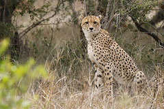 2018 02 03_Cheetah-1 (Jonnersace) Tags: cheetah jagluiperd acinonyxjubatus predator hunter athlete speed fastest recordbreaker cat feline spots eyes stare wildwingssafaris wild nature bush southafrica krugernationalpark canon canon7dii canon100400ii magnificent awesome