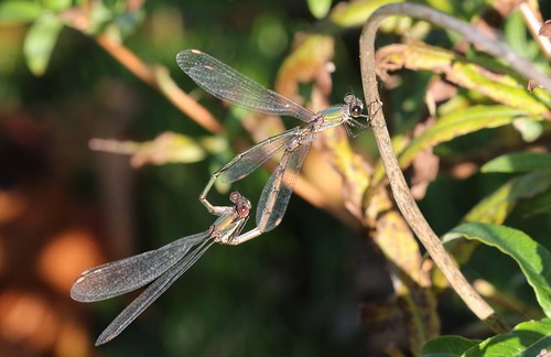 Willow Emerald Damselflies ~ Chalcolestes viridis ~ Baconsthorpe Castle (2)