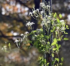 "White Honeysuckle Vine (8 1/2"" Of Snow Fell Last Night!!!..Whew!!!) Tags: smileonsaturday seasonalflora whitehoneysucklevine onthestreetpole growing bokeh onthecorner"