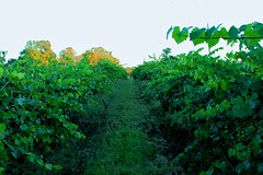 Muscadine Valley (bunnywbf5) Tags: vineyard vines muscadine wine nature path trees 4k hd wallpaper grass greenery green orange october south abstract beautiful earth mothernature