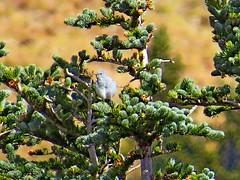 Mountain Bluebird, Mt. Rainier National Park, WA 10/6/18 (LJHankandKaren) Tags: photographerhankheiberg bluebird mountainbluebird mtrainiernationalpark sunrise
