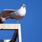 Dancing seagull! thumbnail