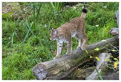 Lynx_Parc Animalier de Sainte-Croix (57) Rhodes (regis.muno) Tags: nikond500 saintecroix animaux parc parcanimalierdesaintecroix rhodes moselle grandest france