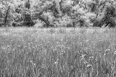 Rêver la mer (Mylene Gauthier) Tags: 2018 arbre canada flore juin maisondumarais montérégie mylenegauthier nikond7100 noiretblanc paysagedegrisaille québec sainteannedesorel texture été