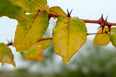 Turning Leaves & Thorns (Gene Ellison) Tags: leaves green yellow branch red thorns raindrop nature fallcolor
