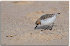 Red-capped Plover (Bear Dale) Tags: redcapped plover feeding sand flats shorebirds beautiful beach scientific name charadrius ruficapillus ulladulla southcoast new south wales shoalhaven australia beardale lakeconjola fotoworx milton nsw nikon d850 photography framed nature shore shoreline seabirds seashore ocean bird birds dof depthoffield catching eating
