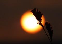 Big Hazy Sun..x (Lisa@Lethen) Tags: sun silhouette nature weather grass morning dawn october autumn