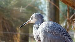 Heron - 6025 (ΨᗩSᗰIᘉᗴ HᗴᘉS +24 000 000 thx) Tags: heron bird pairidaiza nature portrait hensyasmine namur belgium europa aaa namuroise look photo friends be wow yasminehens interest intersting eu fr greatphotographers lanamuroise
