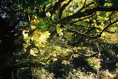 Oak tree (knautia) Tags: northsomerset england uk october 2018 film ishootfilm olympus xa2 olympusxa2 kodak ektar 100iso nxa2roll84 footpath tree oak oaktree