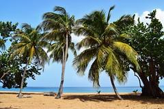 📍 Plage de Deshaies, Guadeloupe. 🌴 (manuelaporet) Tags: guadeloupe cocotier karukera voyages travel caraïbe antilles