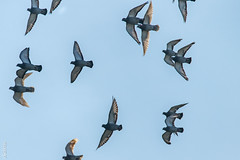 More birds from Domburg-2078 (clickraa) Tags: starlings domburg walcheren zeeland