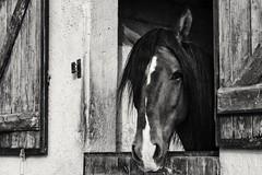 (Val'Art Photography) Tags: horse cheval portrait noiretblanc blackandwhite monochrome