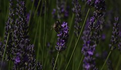 Bee on lavender, south of France (jpp22) Tags: bee lavender france purple