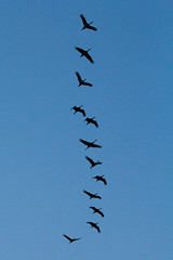 Air traffic control has us stacked up for a while (RPahre) Tags: cranes sandhillcranes birds bluesky kearney nebraska migration betterthanyouthink