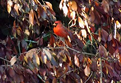 Blending In - Kinda Sorta (ChicaD58) Tags: dscf5836a northerncardinal cardinal redbird camouflage blendingin deadleaves backyard autumn ngc
