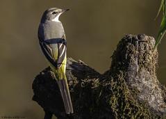 stargazer (blackfox wildlife and nature imaging) Tags: panasonicg80 leica100400 greywagtail bpw wales