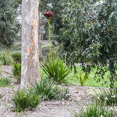 Gymea Lily (idunbarreid) Tags: gymealily foliage gumtree
