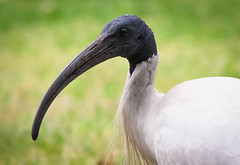 the australian white ibis (Angelo Petrozza) Tags: white ibis australian autralia adelaide sa angelo angelopetrozza 55300f458 uccelli birds