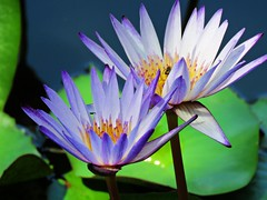light and shadow (oneroadlucky) Tags: nature plant flower lotus waterlily purple green
