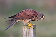 Kestrel (Simon Stobart - Back But Way Behind) Tags: tinnunculus kestrel falco perched post north east england uk ngc npc