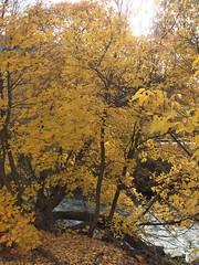 IMG_2269 (August Benjamin) Tags: provocanyon provorivertrail hiking jogging trailrunning trees fall fallcolors autumn utah mountains orem provo provoriver timpanogos cascademountain waterfall