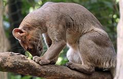 fossa duisburg 094A0032 (j.a.kok) Tags: fossa fretkat madagascar africa animal afrika predator mammal zoogdier dier duisburg