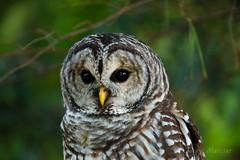 _VM_5337 - Barred owl. (j. mercier) Tags: nature wisconsin owl owls bird birds uwarboretum tree wildlife animals jerrymercier mercier canon outdoor outside strixvaria raptor eyes eye beak feathers madison