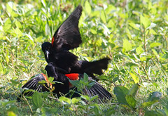 Red-winged Blackbird Death Match 10 (Kaptured by Kala) Tags: agelaiusphoeniceus redwingedblackbird blackbird maleredwingedblackbird whiterocklake dallastexas sunsetbay loud noisy closeup battle fighting territorial aggressive