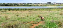 All alone (gillybooze) Tags: ©allrightsreserved vista grass lake sheep animal mammal panarama reeds outside reed sky clouds marsh summerleys wideangle horns buildings field plants horizon