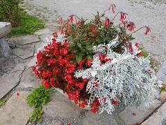 Wilderswil scenes 118 (SierraSunrise) Tags: switzerland wilderswil europe plants flowers ornamentals red white begonia landscaping