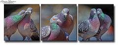 Love Under The Bridge (brian.m.denton) Tags: animals birds pigeons partners lovers courtship triptych london westminsterbridge england briandenton wwwtimecapturercom timecapturer sonyslta99vdslr lovebirds