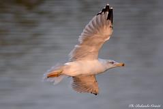 Gabbiano _062 (Rolando CRINITI) Tags: gabbiano uccello uccelli birds ornitologia entella fiumeentella chiavari natura avifauna