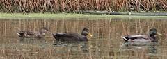 American Black Duck (Anas rubripes) 10-24-2018 Susquehanna SP--Deer Creek Picnic Area, Harford Co. MD (Birder20714) Tags: birds maryland ducks waterfowl anatidae aix sponsa